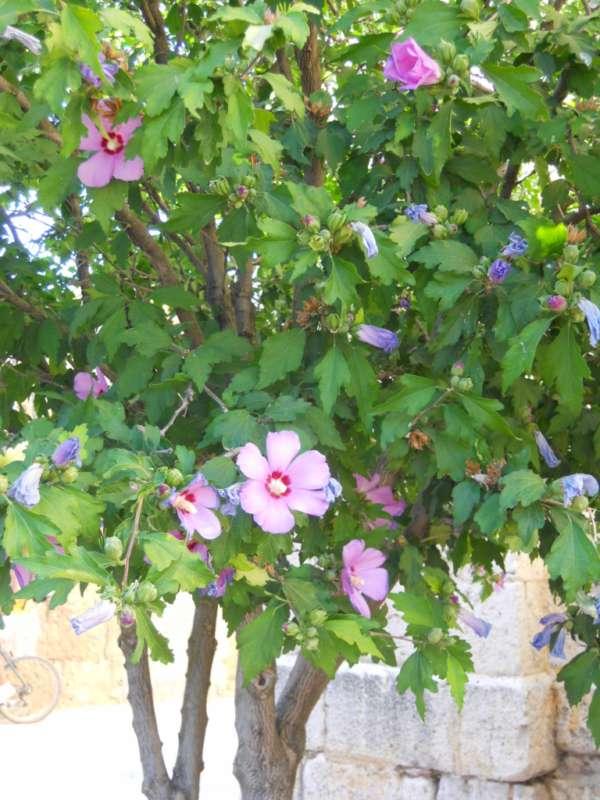 Hibiscus syriacus v 2