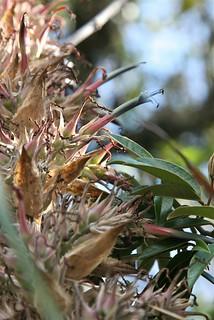 Puya sp. (Bromeliaceae)