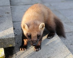 animal, mustelinae, mustelidae, mammal, fauna, polecat, whiskers, black footed ferret,