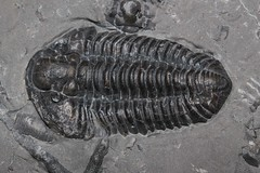 animal, trilobite, fossil,