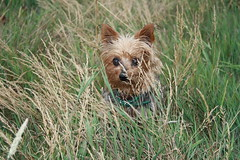 dog breed(1.0), animal(1.0), prairie(1.0), dog(1.0), grass(1.0), pet(1.0), norfolk terrier(1.0), norwich terrier(1.0), fauna(1.0), cairn terrier(1.0), australian terrier(1.0), carnivoran(1.0), yorkshire terrier(1.0), terrier(1.0),