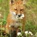 Red Fox Pup. by AlaskaFreezeFrame