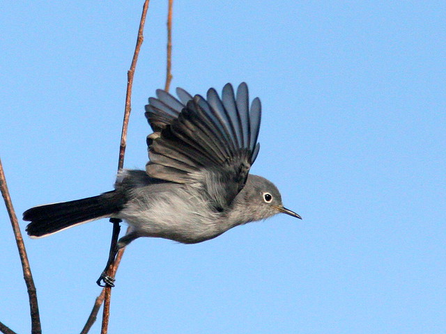 Blue-gray Gnatcatcher 20101231