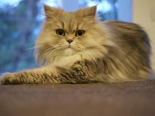 Grey Persian Cat - Chilerito