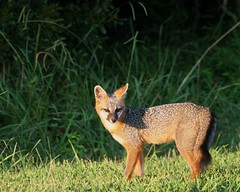 animal, jackal, grey fox, fauna, red fox, kit fox, carnivoran, wildlife,