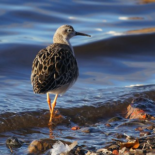 Ruff (Adult in Winter Plumage)