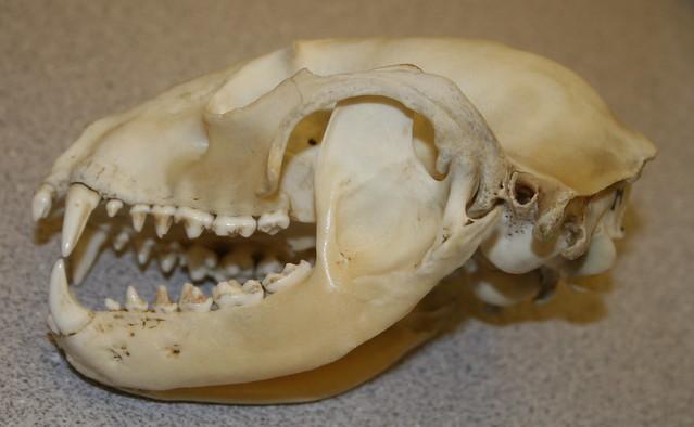 Raccoon Skull Identification | www.imgkid.com - The Image ...