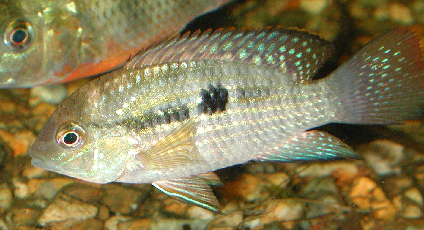 Blue Acara (Aequidens pulcher) · iNaturalist org