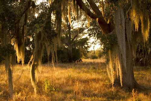 sunset sun tree field spanishmoss