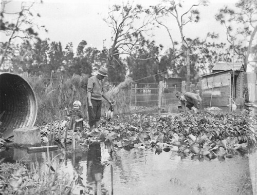 Man surveys his vegetable garden in the Narrabeen flood, April 1927, by Sam Hood