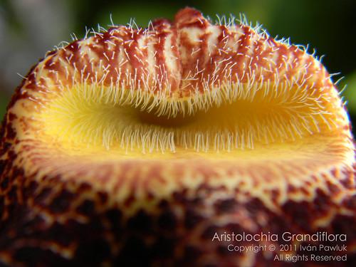 Aristolochia Grandiflora ( flower) by PAWLUK IVAN