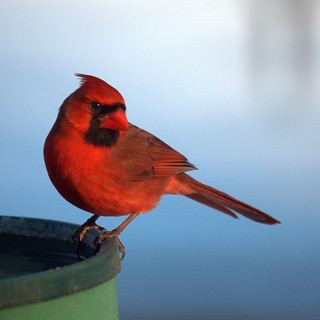 Northern Cardinal at the bird bath