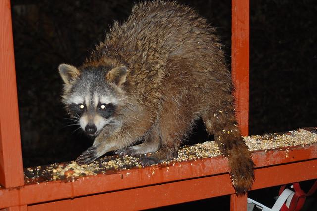 backyard raccoon flickr photo sharing