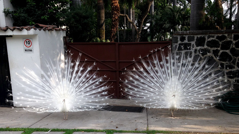 IMG_0341 Peacock