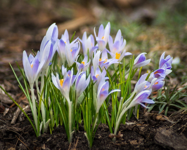 Flowers, Spring, Crocus, Blue, Purple