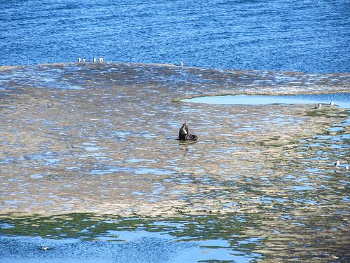 Puerto Piramídes: un lion de mer mâle (crinière), surement le boss ;)