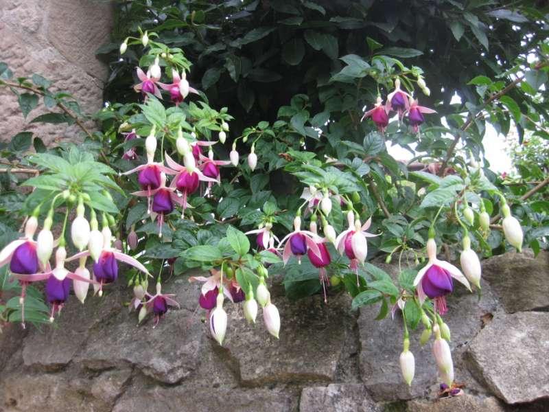 Fuchsia 'Cascade' 3