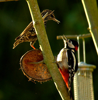 Great Spotted Woodpecker is not a happy bunny!