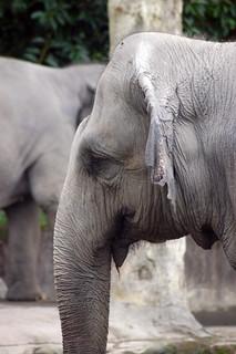 Asian Elephant @ Taipei Zoo