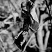 Small photo of Crinkle leaf