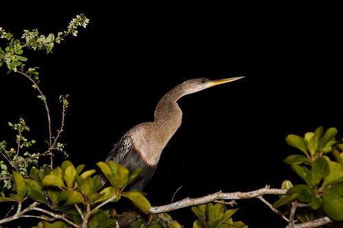 Anhinga (Anhinga anhinga) - Amerikansk ormhalsfågel