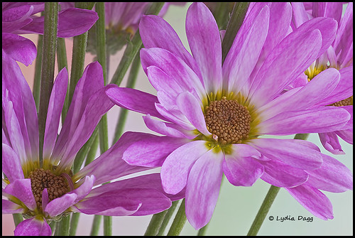 CHRYSANTHEMUM, HOT PINK - 1
