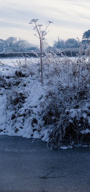 Giant hogweed in the snow