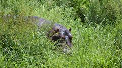 Hippo - Hiding