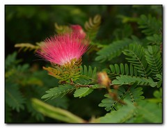 Pink Tassel-flower (Calliandra surinamensis)