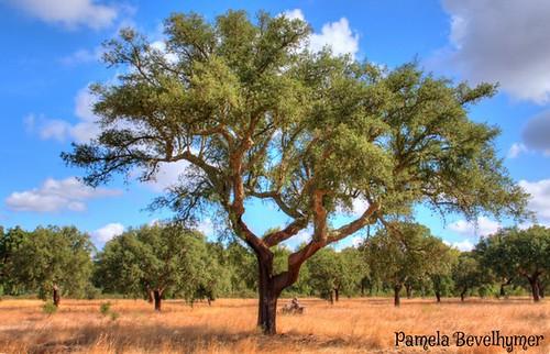 "tree portugal oak cork southern pamela alentejo alto forests hdr ""the bevelhymer roviscogarcia corkfarm montado"""
