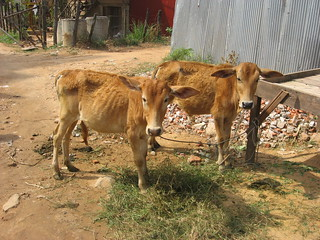 Cow twins