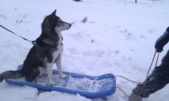 pet(0.0), dog sled(0.0), sled dog racing(0.0), animal(1.0), dog(1.0), winter(1.0), vehicle(1.0), siberian husky(1.0), snow(1.0), mammal(1.0), east siberian laika(1.0), greenland dog(1.0), sled dog(1.0),