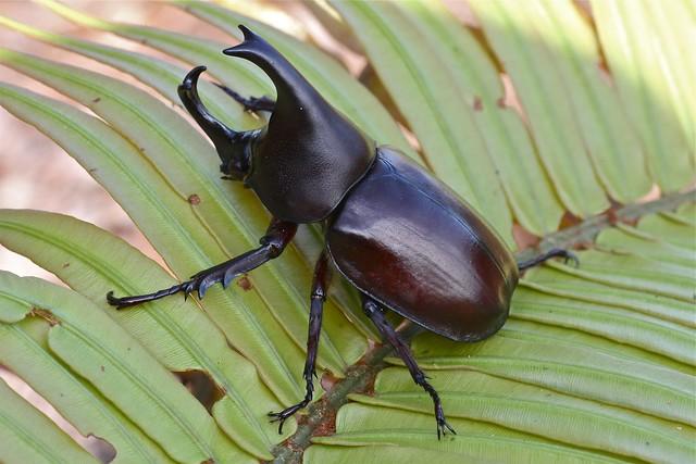 Xylotrupes gideon borniensis (Scarabaeidae: Dynastinae)