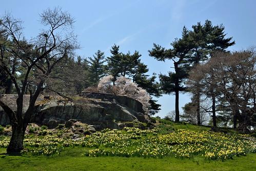 newyorkcity flowers landscapes day bronx clear daffodilhill daffodils newyorkbotanicalgarden