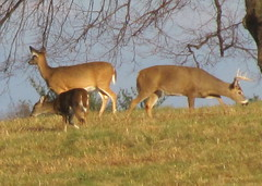 Deer grazing at Valley Forge