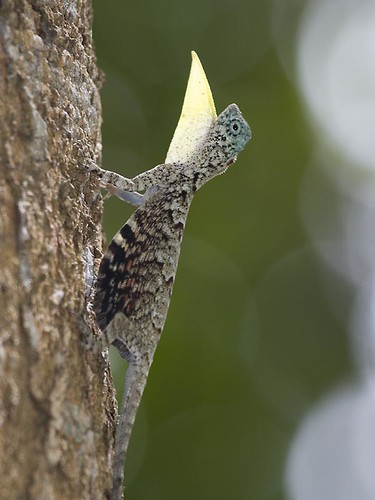 Common Draco