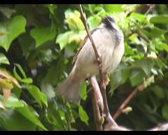 Passer domesticus (House Sparrow; European Sparrow)