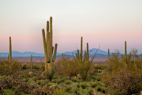 morning arizona cactus cacti sunrise desert tucson az saguaro