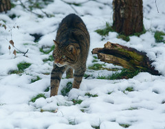 tiger(0.0), lynx(0.0), animal(1.0), winter(1.0), small to medium-sized cats(1.0), snow(1.0), pet(1.0), mammal(1.0), fauna(1.0), cat(1.0), wild cat(1.0), bobcat(1.0), wildlife(1.0),