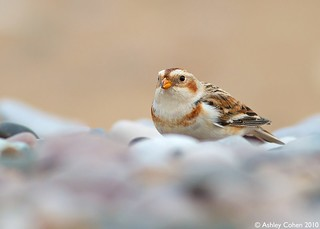 Snow Bunting - Stay Low - Explored!