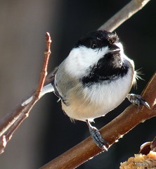 Sweet little Chickadee!