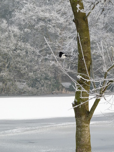 Magpie and frost