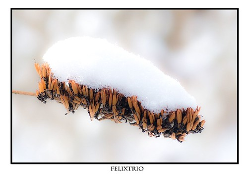 Snow on Seeds by felixtrio