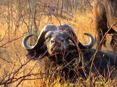 Soutn Africa, Safari. Buffalo
