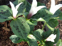 TRILLIUM grandiflorum white-flowered