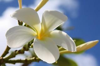 Plumeria spp.