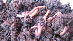 ringed-worm, soil, worm, marine biology,