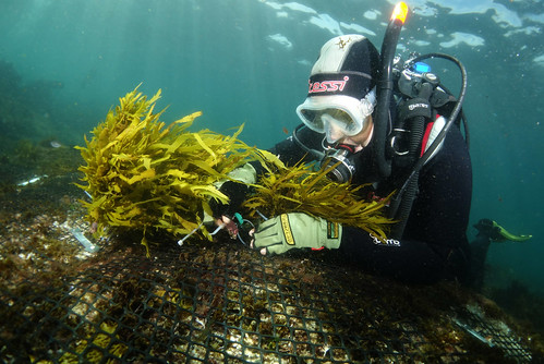 Restoring crayweed Phyllospora comosa to South Bondi
