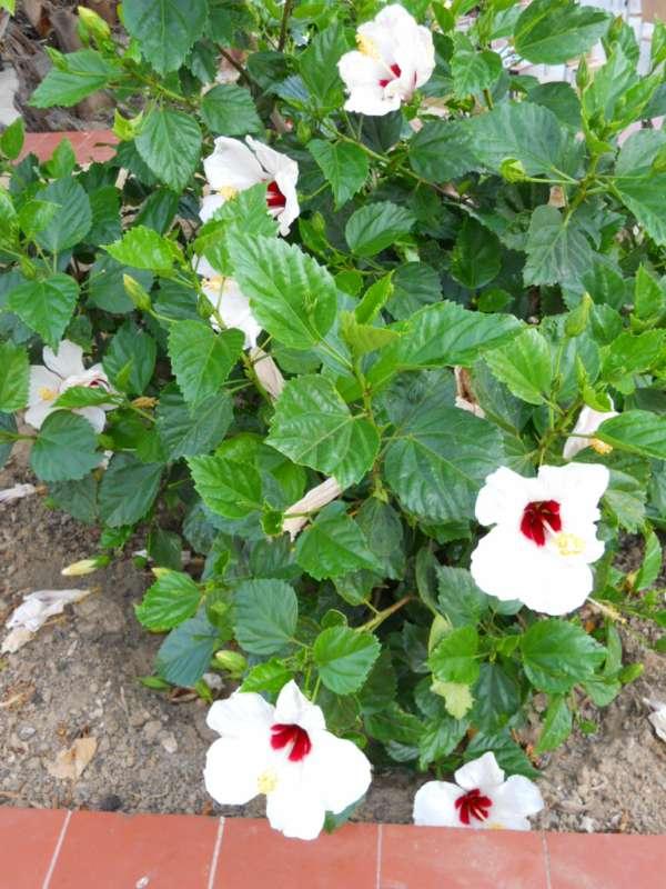 Hibiscus rosa sinensis 'Casablanca' v 3