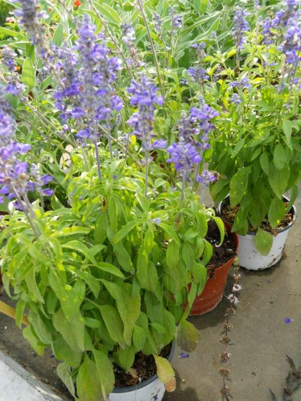 Salvia farinacea v 1